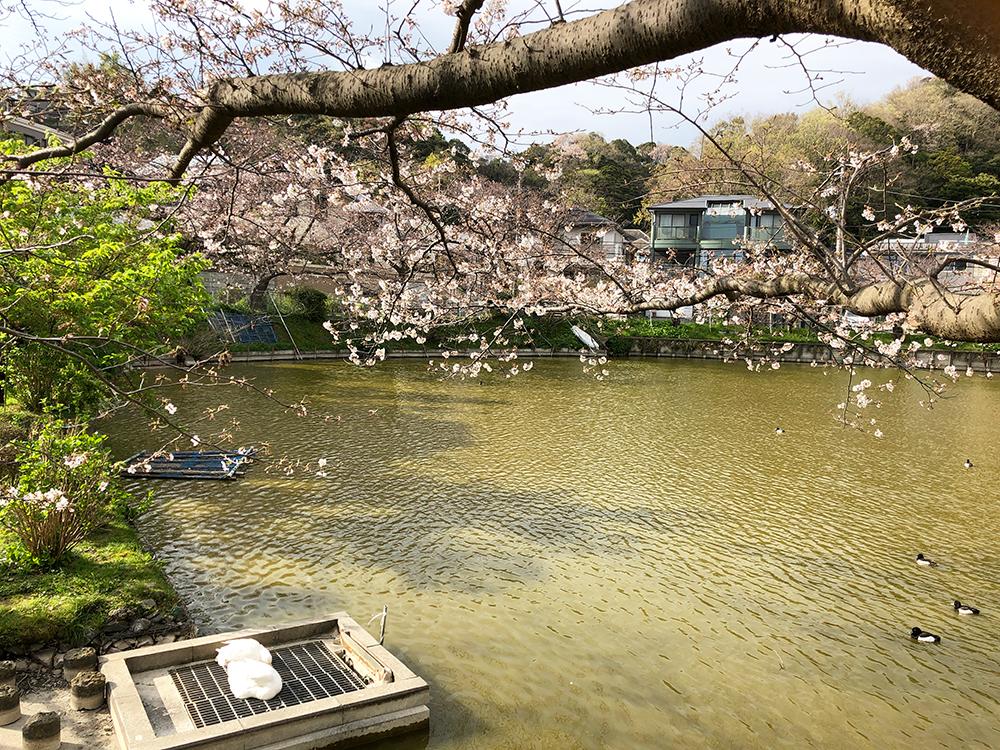 【大船】谷戸池の桜は5分咲きくらい・穏やかな平日の午後