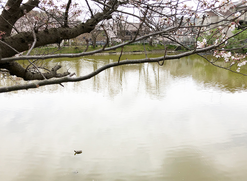 【大船】ベッカライ ジーベン買い占めたいくらい美味しいパン!谷戸池の桜と亀