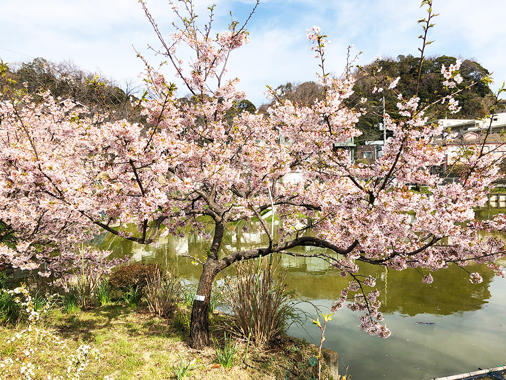 大船・谷戸池・玉縄桜