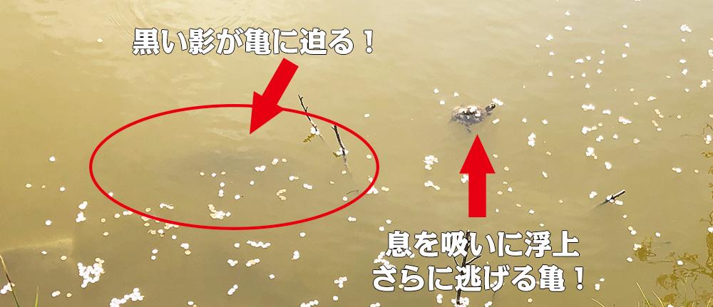 谷戸池・亀と鯉